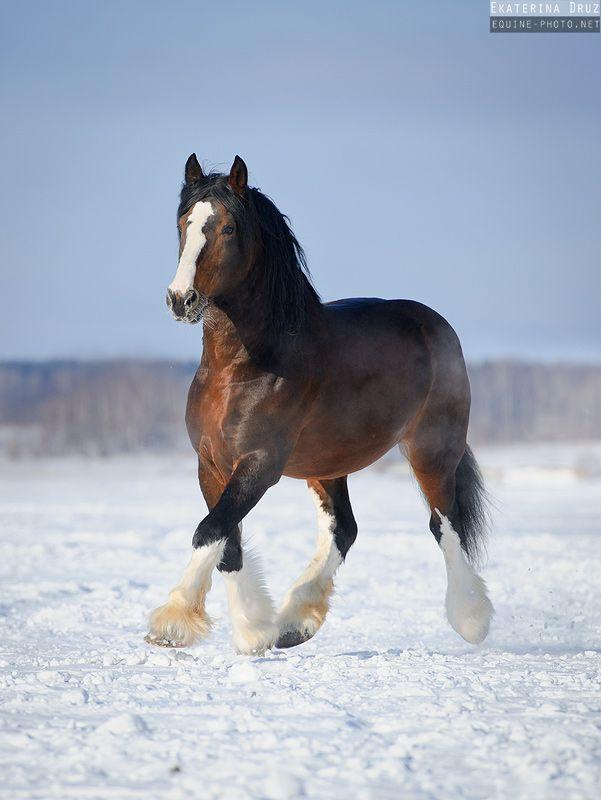 Владимирский тяжеловоз (equestrian